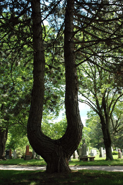 U Tree in Mount Pleasant Cemetary
